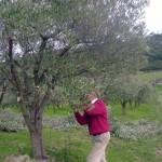 potatura ulivi
